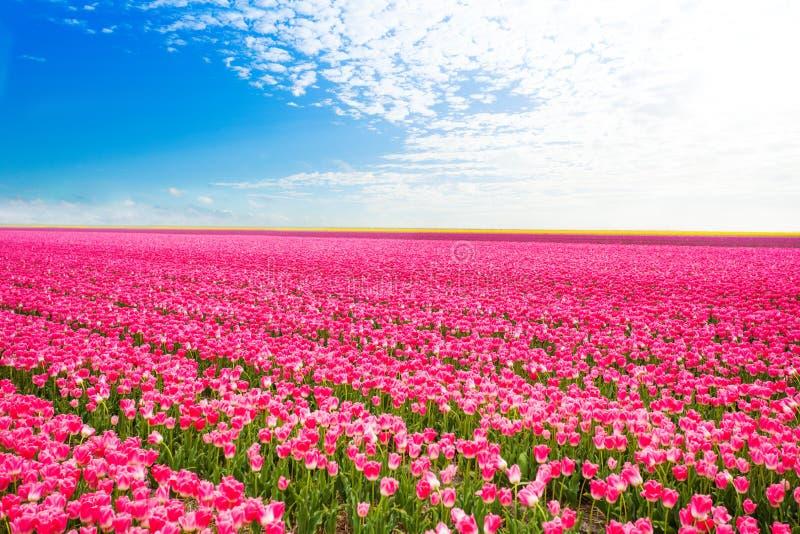Belle vue de champ des tulipes roses, Pays-Bas images libres de droits