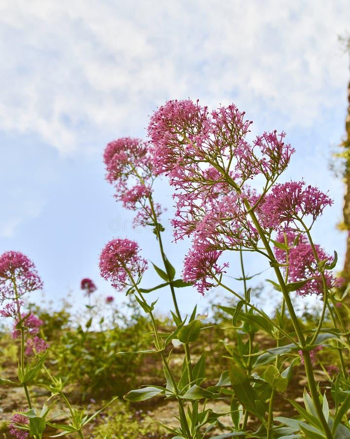 Belle vue de ciel avec les fleurs roses images libres de droits