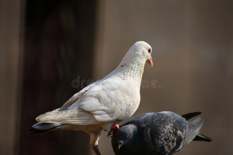 Belle vue de deux pigeons on dominant autre une véritable combinaison noire et blanche un symbole de dominance photos libres de droits