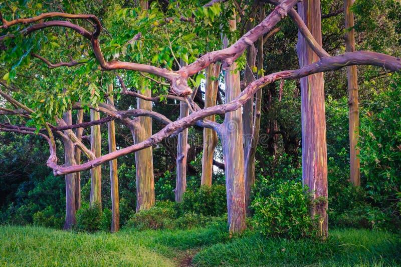 Belle vue de paysage des arbres d'eucalyptus peints colorés images stock