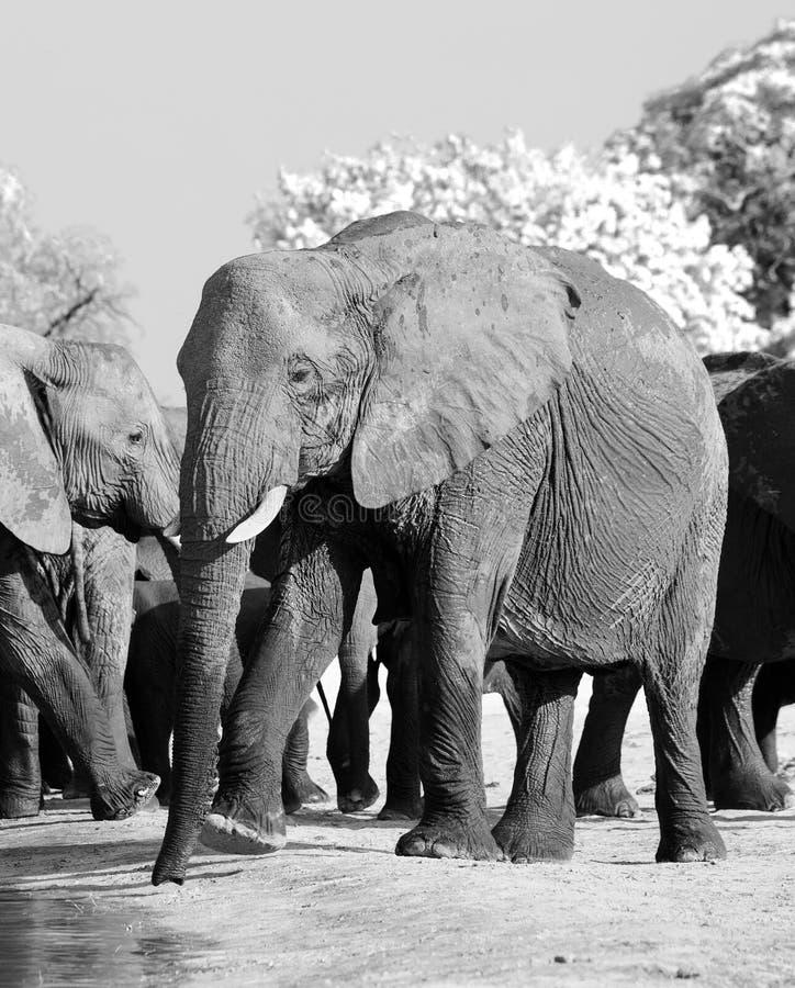 Belle vue de portriat d'un éléphant africain en noir et blanc parmi un troupeau d'éléphants photos stock