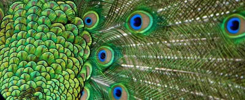 Belle vue des clavettes d'arrière de paon images libres de droits