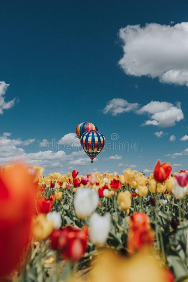 Belle vue des tulipes avec de grands ballons à air colorés au-dessus du champ photo stock
