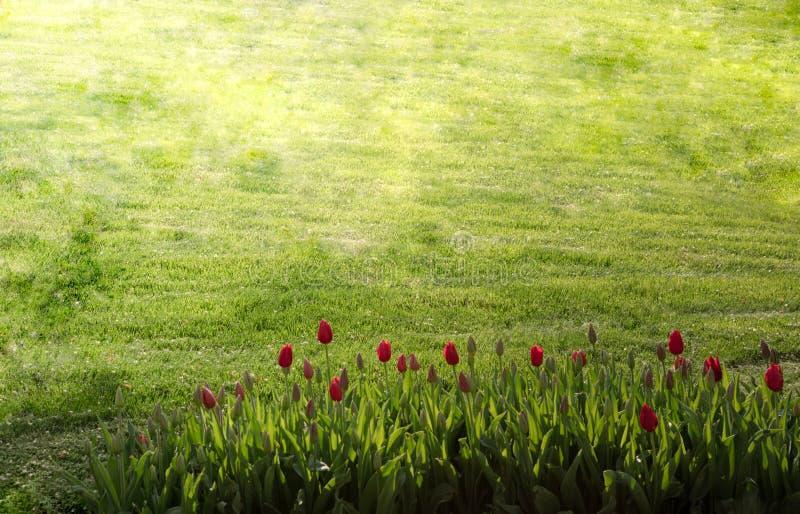 Belle vue des tulipes rouges sous la lumière du soleil avec l'herbe verte photographie stock