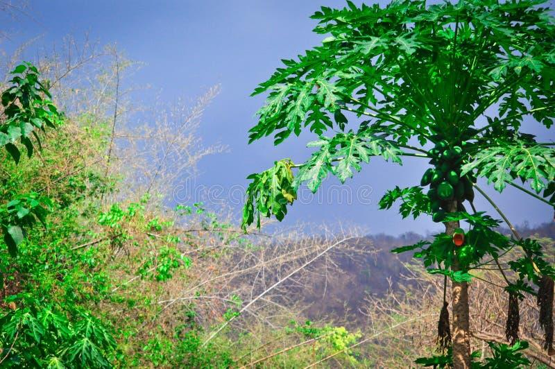 Belle vue pittoresque de nature verte riche avec la paume de papaye en Thaïlande exotique images libres de droits