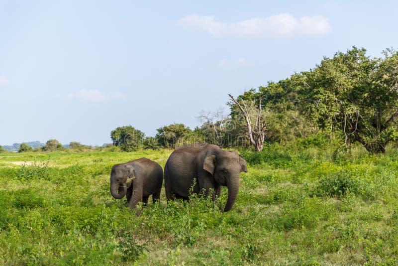 belle vue scénique des éléphants sauvages dans l'habitat naturel, Asie, sri images stock