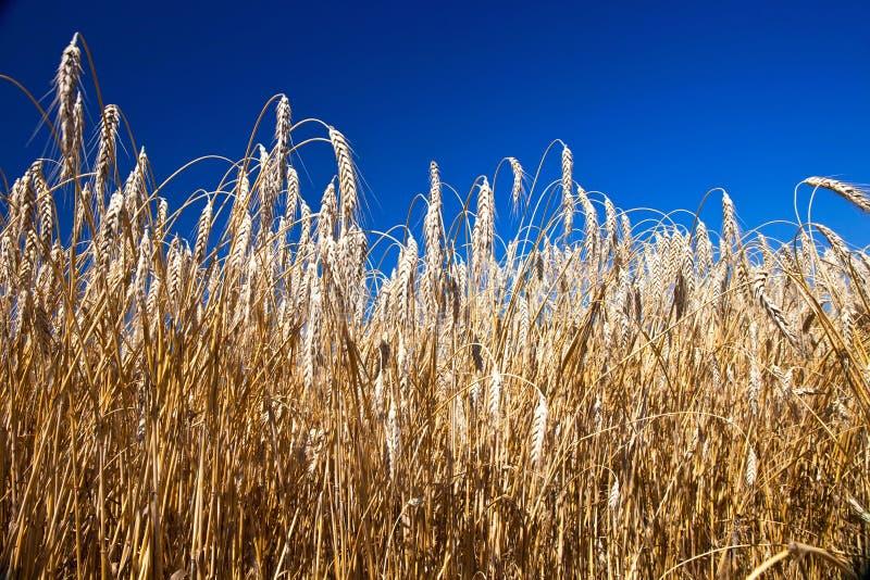 Belle zone de blé photo libre de droits