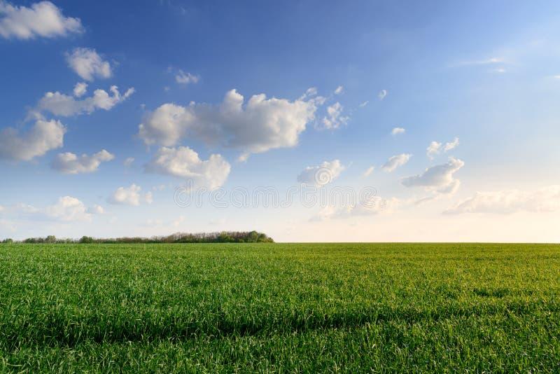 Belle zone de blé photographie stock