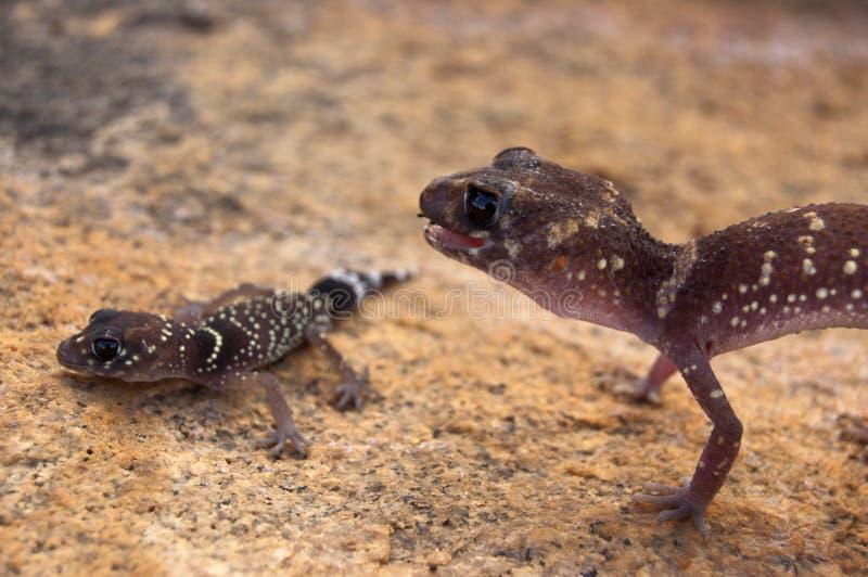 Bellende Geckomutter in der defensiven Lage über Nachkommenschaft stockbilder