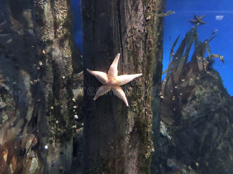 Belles étoiles de mer sur un fond bleu photographie stock libre de droits
