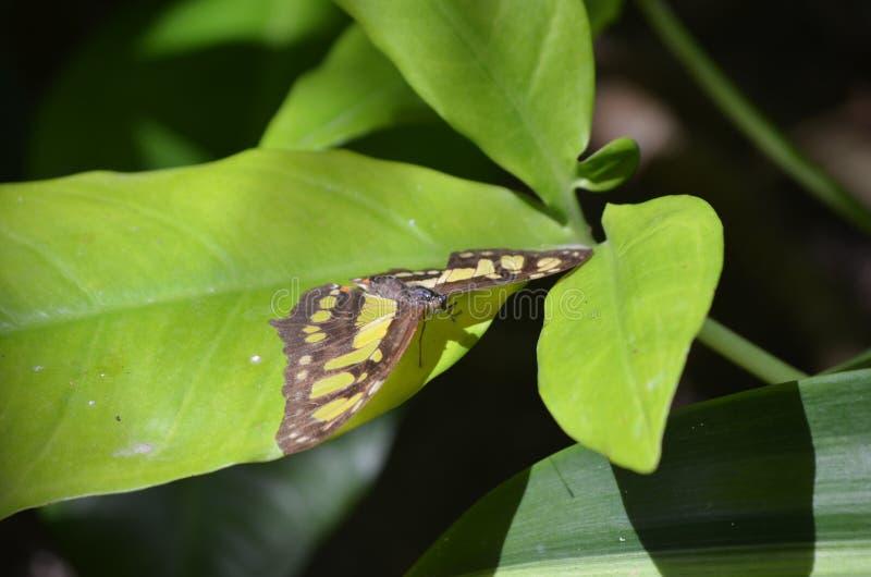 Belles ailes de diffusion sur un papillon de malachite images libres de droits