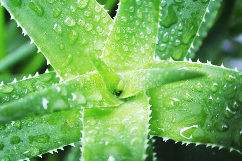 Belles baisses de l'eau de Vera Plant Close Up With d'aloès sur des feuilles de haute qualité photographie stock