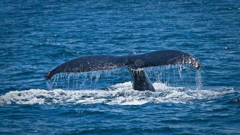 Belles baleines de bosse dans la côte de l'Equateur photo libre de droits