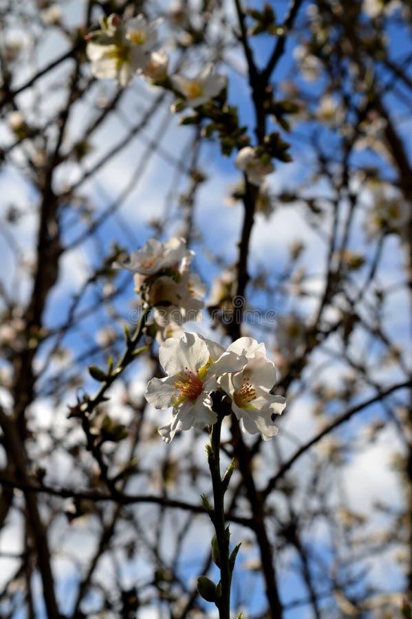 Belles branches d'arbre d'amande en fleur, fleur de la Sicile image libre de droits