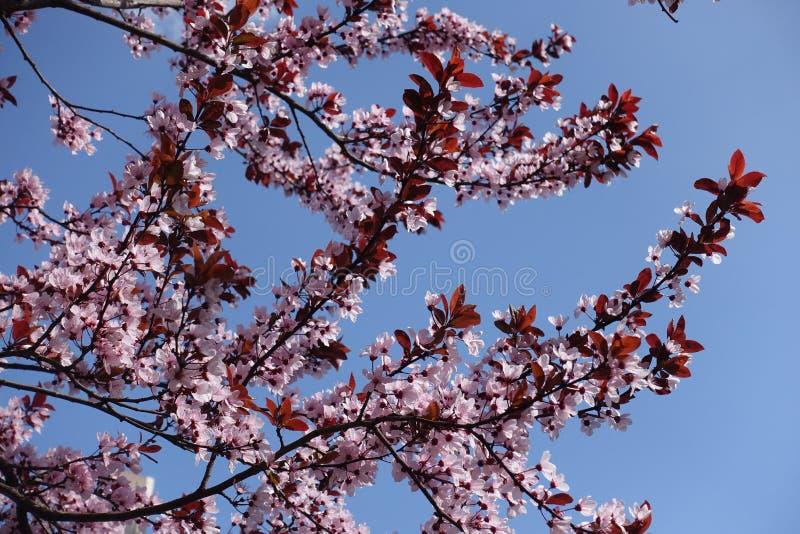 Belles branches se développantes de pissardii de Prunus contre le ciel bleu photo stock