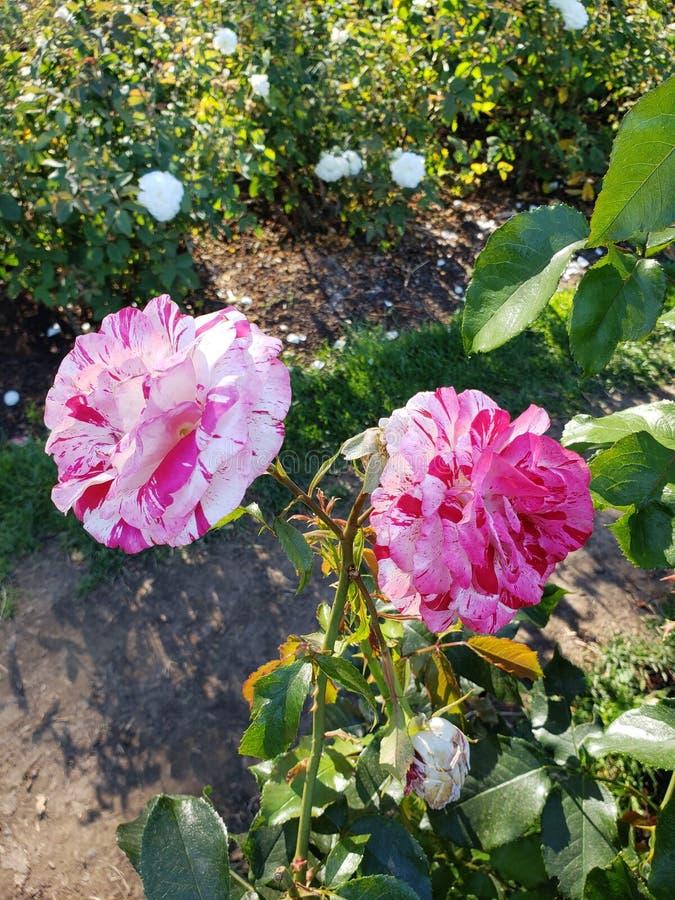 Belles deux roses colorées images stock