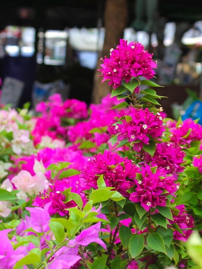 Belles et colorées fleurs roses de bouganvillée avec blanc et vert images stock