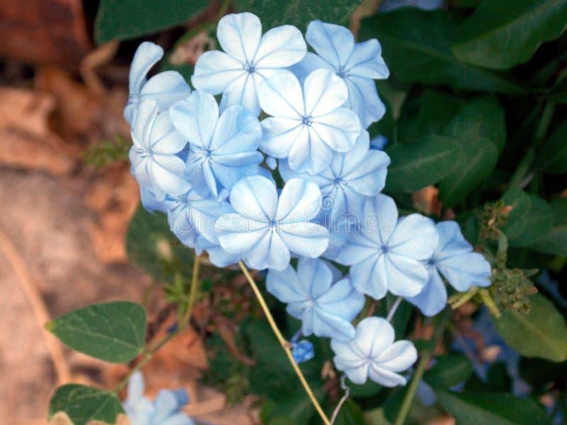 Belles et heurtantes fleurs bleues dans le jardin photo stock