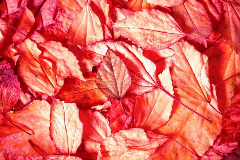 Belles feuilles d'automne tombées avec le fond de lumière rouge photos stock