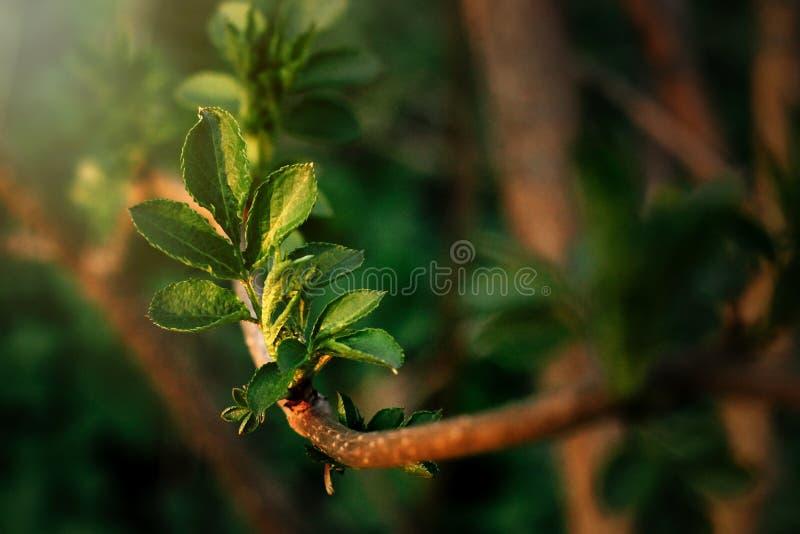 Belles feuilles fraîches la soirée ensoleillée de branche au printemps photographie stock