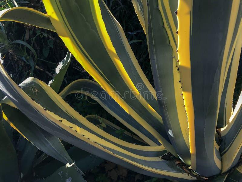 Belles feuilles jaunes et vertes d'agave images stock