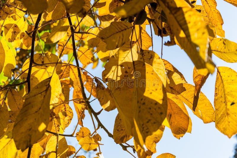 Belles feuilles jaunes et vertes lumineuses de noix dans le jour ensoleill? d'automne, fond de ciel bleu, beau fond de r?colte de photographie stock libre de droits