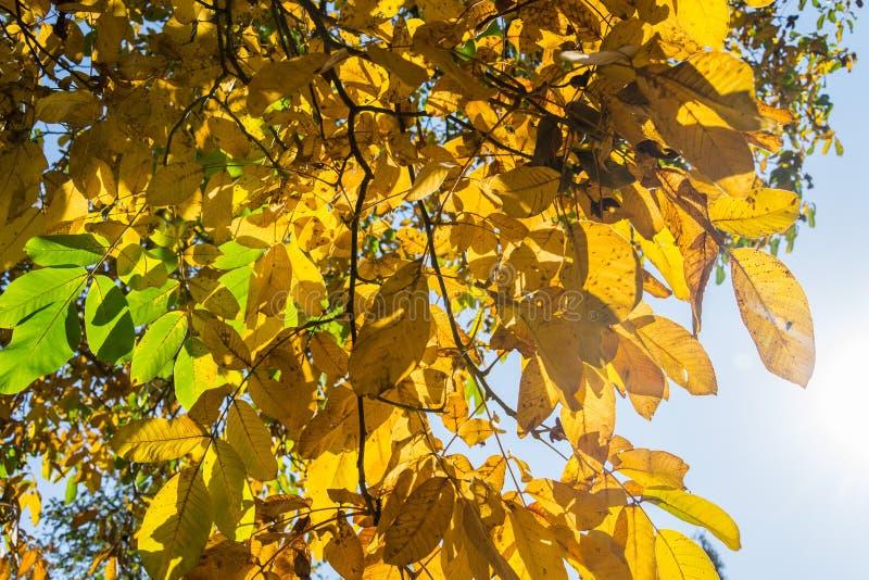 Belles feuilles jaunes et vertes lumineuses de noix dans le jour ensoleill? d'automne, fond de ciel bleu, beau fond de r?colte de image stock