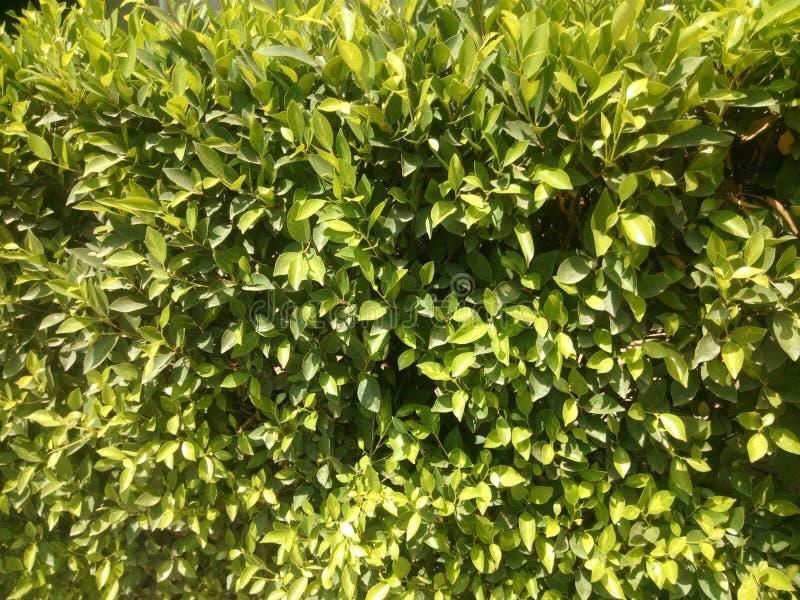 belles feuilles naturelles de vert photo libre de droits