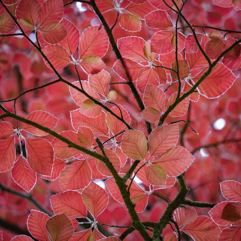 Belles feuilles rouges d'un arbre de h?tre rouge photo libre de droits
