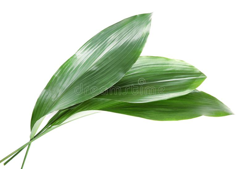 Belles feuilles tropicales d'aspidistra images libres de droits