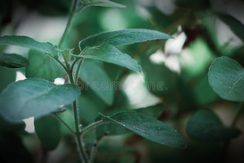 Belles feuilles vert-foncé d'usine de basilic photos libres de droits