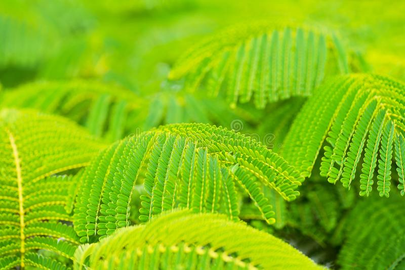 Belles feuilles vertes d'arbre de flamme images libres de droits