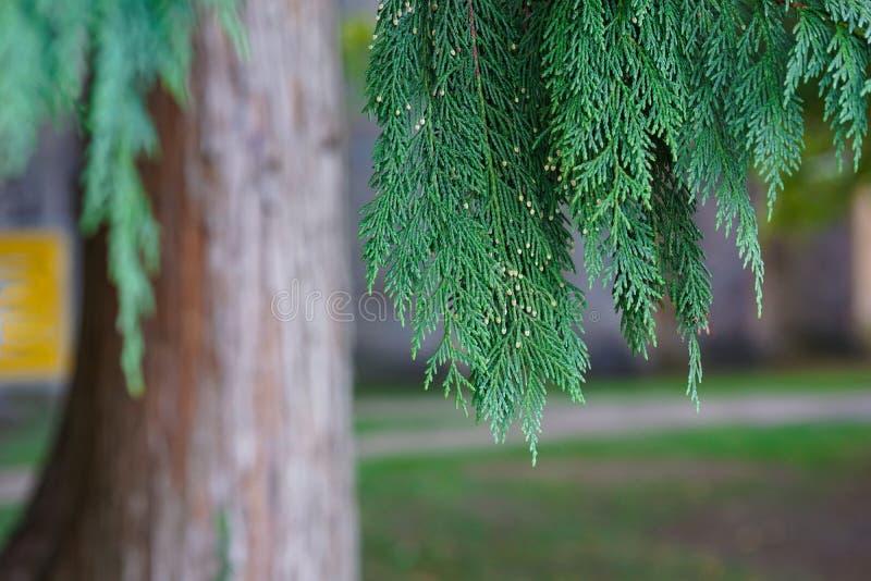 Belles feuilles vertes des arbres de Thuja Fond avec l'arbre conifére à feuilles persistantes pour votre conception images stock