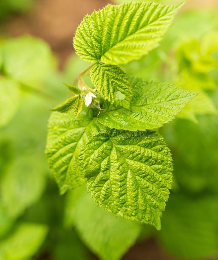 Belles feuilles vertes sur des framboises en nature images stock