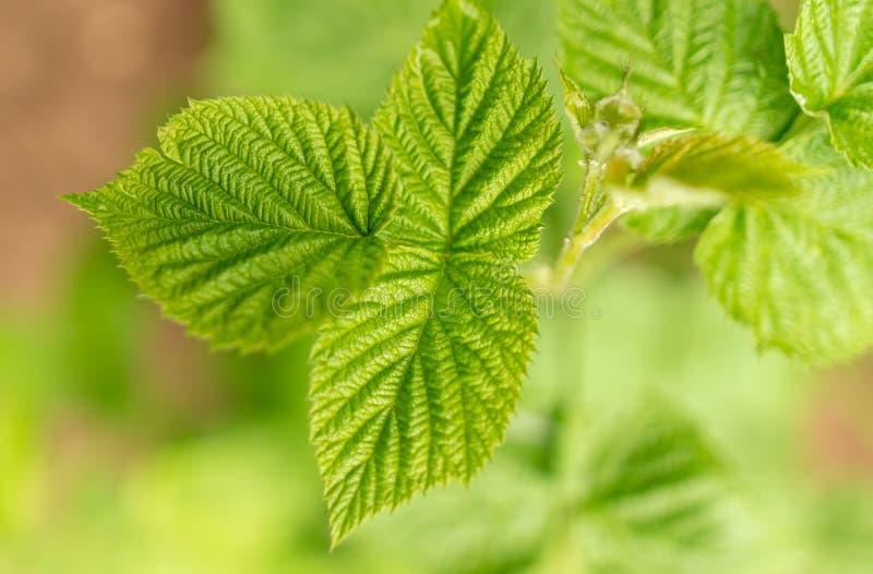 Belles feuilles vertes sur des framboises en nature photographie stock