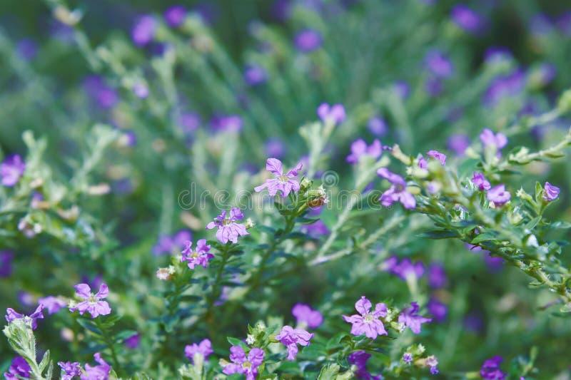 Belles fleurs avec les trous bleus violacés et les pistils de fleur image libre de droits