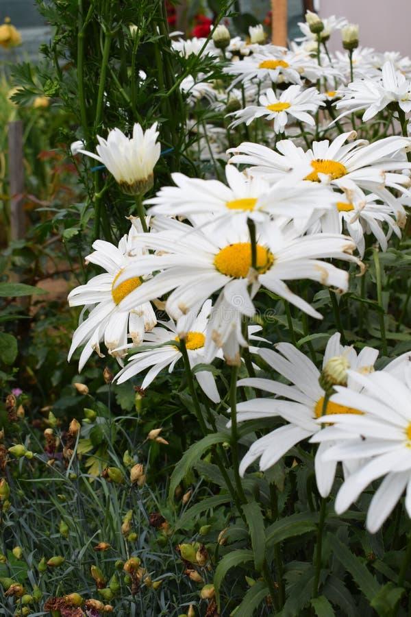Belles fleurs blanches image libre de droits