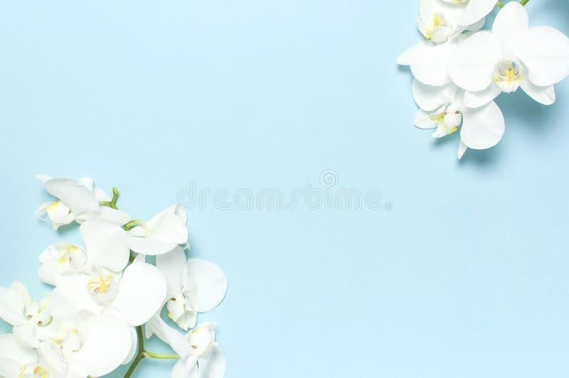 Belles fleurs blanches d'orchid?e de Phalaenopsis sur la configuration plate bleue en pastel de vue sup?rieure de fond Fleur trop photographie stock libre de droits