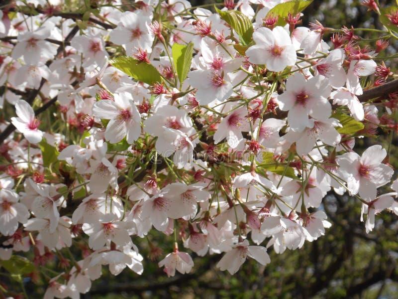 Belles fleurs blanches d'un arbre photo libre de droits