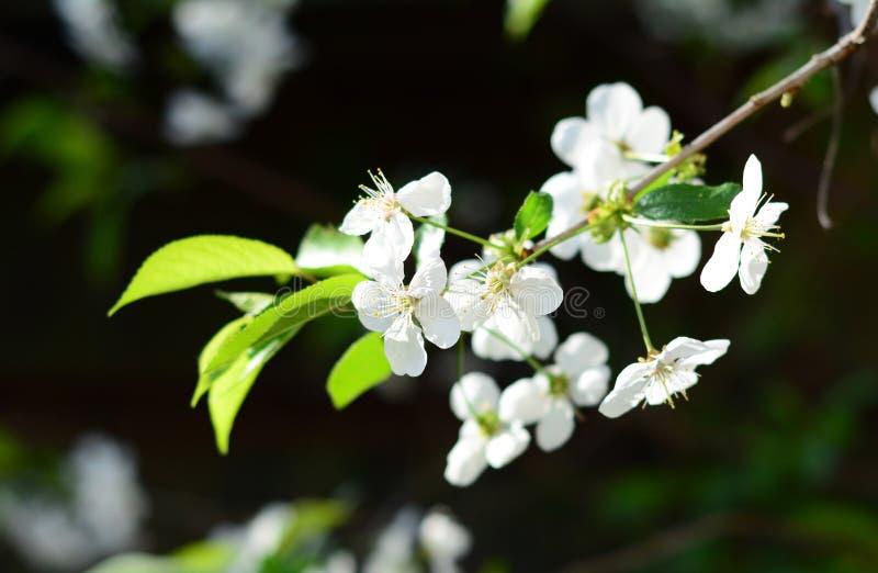 Belles fleurs blanches de cerise Cerisier de floraison au printemps image libre de droits