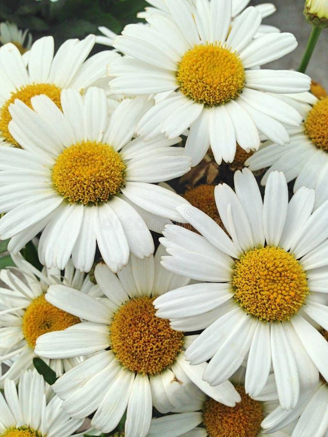 Belles fleurs blanches de marguerite de marguerite des prés photographie stock libre de droits