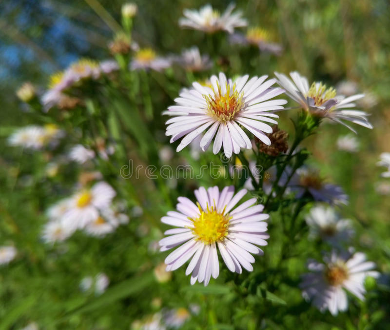 Download Belles Fleurs Blanches Sauvages De Camomille Image stock - Image du normal, outside: 76085183