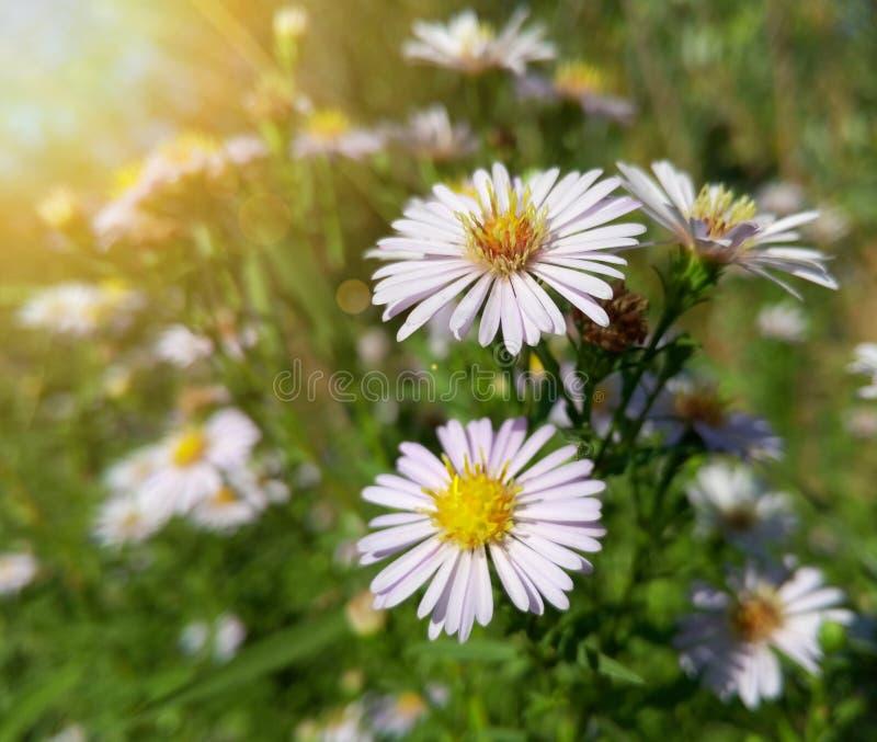 Download Belles Fleurs Blanches Sauvages De Camomille Image stock - Image du ensoleillé, beauté: 76085223