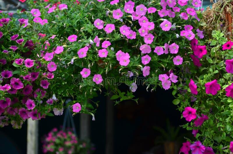 Belles fleurs colorées accrochantes de gloire de matin sur le fond foncé photographie stock libre de droits