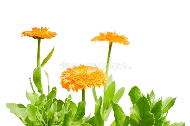 Belles fleurs d'isolement au-dessus du blanc photographie stock