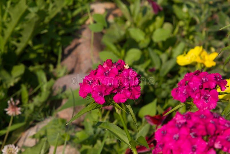 Belles fleurs d'oeillet turc dans le jardin ensoleillé d'été photo stock
