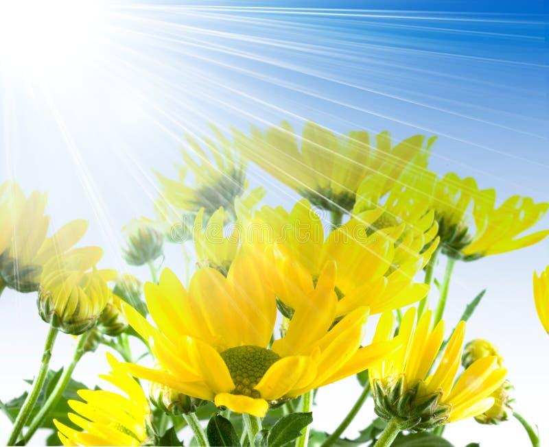 Download Belles Fleurs D'une Camomille. Image stock - Image du nature, beau: 8662853