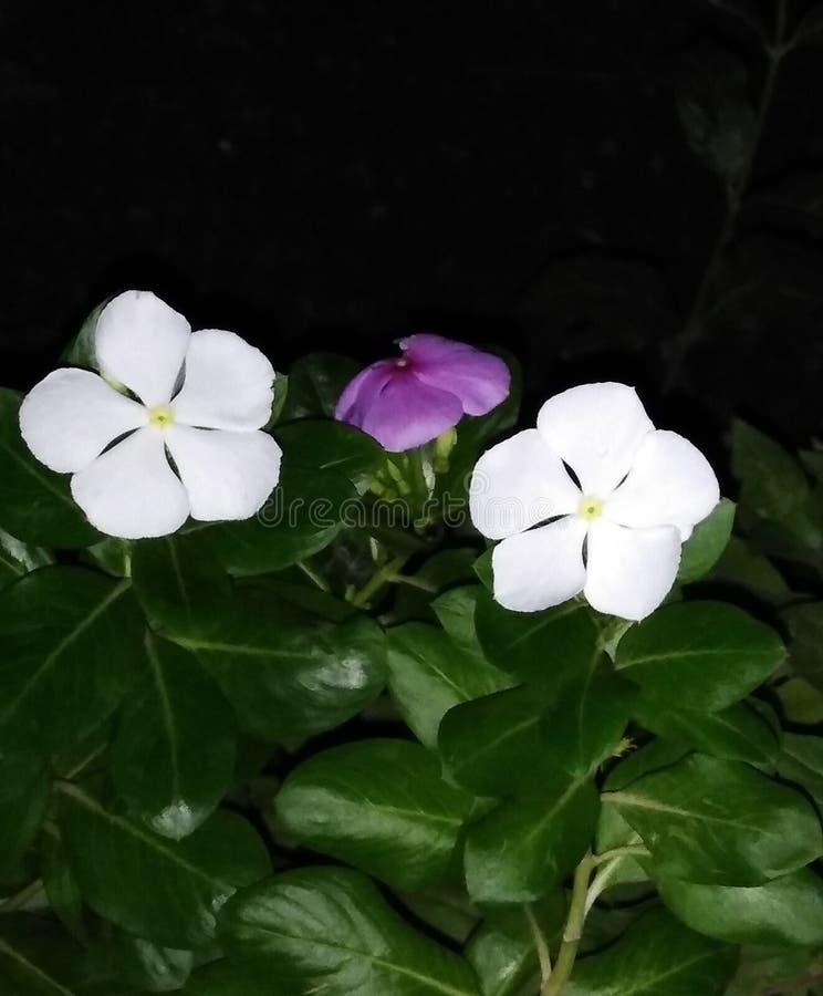 Belles fleurs dans la couleur blanche image libre de droits
