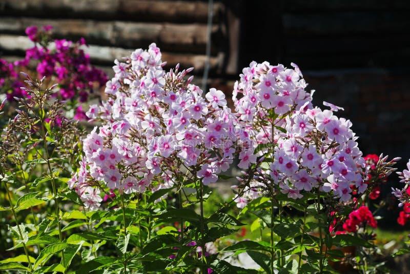 Belles fleurs dans le jardin d'automne fleurs blanches roses de cinq-pétale de phlox image libre de droits