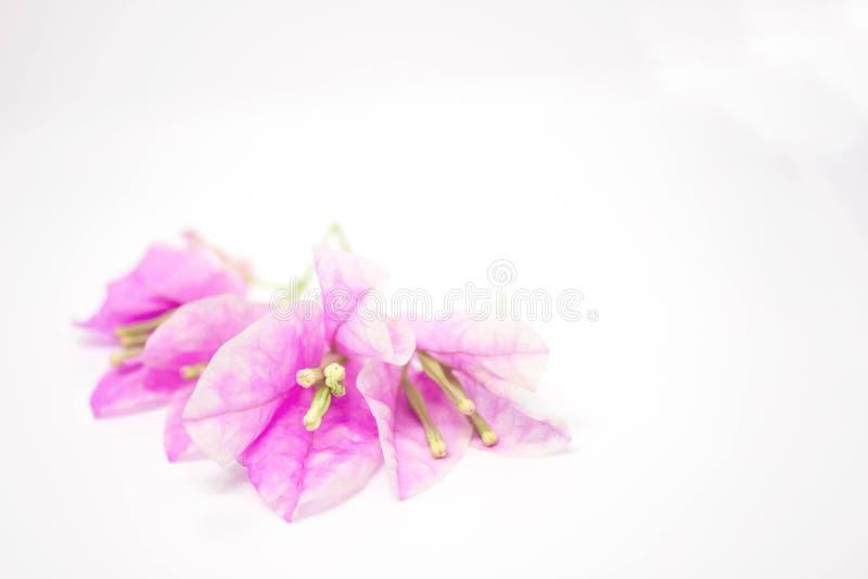 Belles fleurs de bouganvillée sur le fond blanc image libre de droits